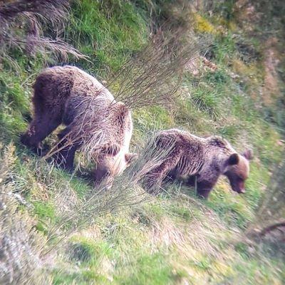 oso pardo fuentes del narcea