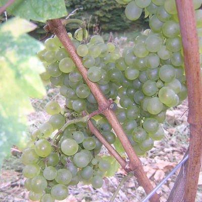 uva vino albarin cangas del narcea