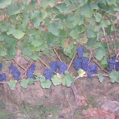 uva vino carrasquin cangas de narcea